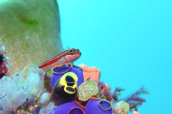 タテジマヘビギンポ/水中写真