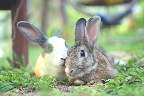 ティオマン島のウサギ