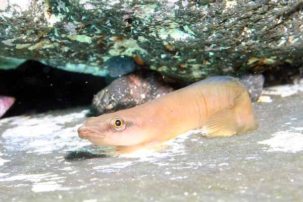 ミサキウバウオ/水中写真