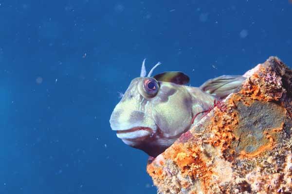 カエルウオ/水中写真