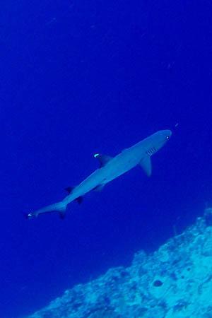 サメ/水中写真/パラオ