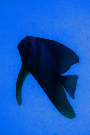 ツバメウオ/水中写真/ティオマン島