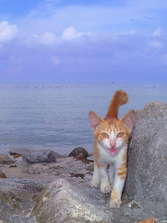 ティオマン島の猫