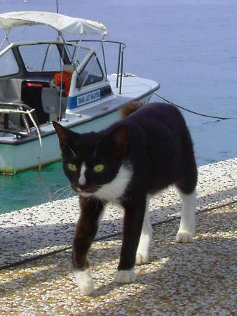 ティオマン島のネコ
