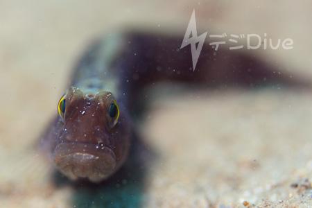 イトヒキハゼ属の1種barred shrimpgoby/ティオマン島